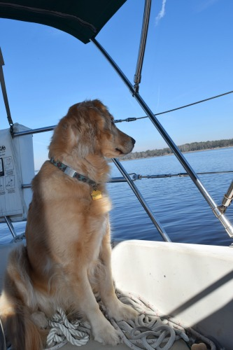 Honey the golden retriever spots a dolphin in the water.