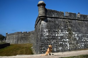 Honey the golden retriever at the fort in St Augustine.