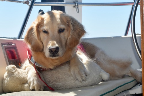 Honey the golden retriever rests in the cockpit with her bear.