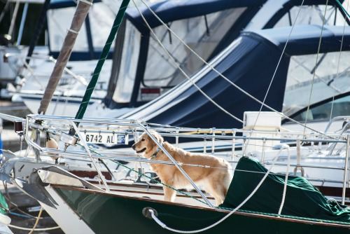 Honey the golden retriever on the bow of Meander.