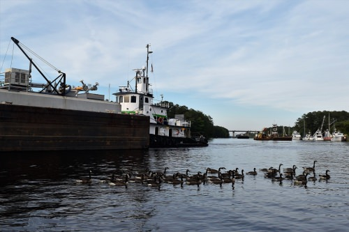 Geese beside a tugboat in the Chesapeake and Albemarle Canal.