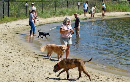 Honey the golden retriever at Quiet Waters dog beach.