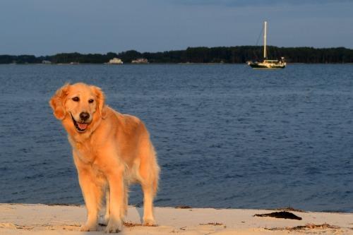 Honey the golden retriever on the beach in Onancock, Virginia.