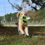 Honey the golden retriever is filled with joy.