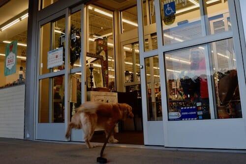 Honey the golden retriever runs into the store.