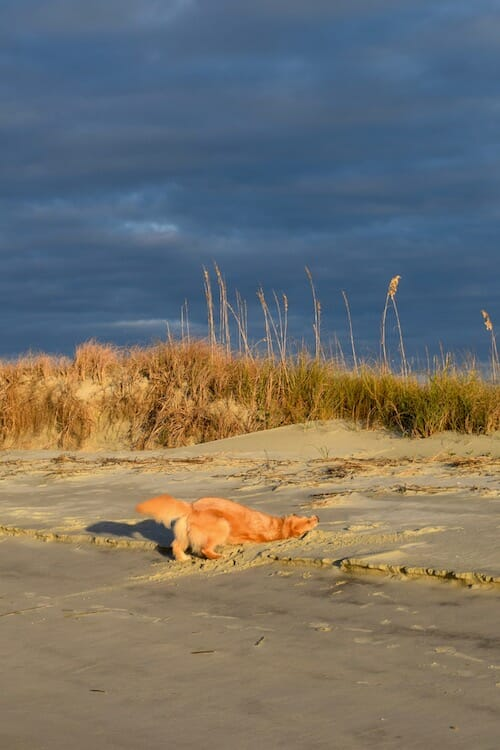 Honey the boat dog takes a sand bath at the beach.