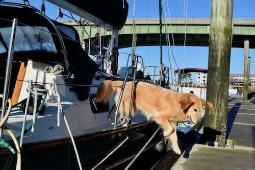 Honey the boat dog leaps onto the Darien dock.