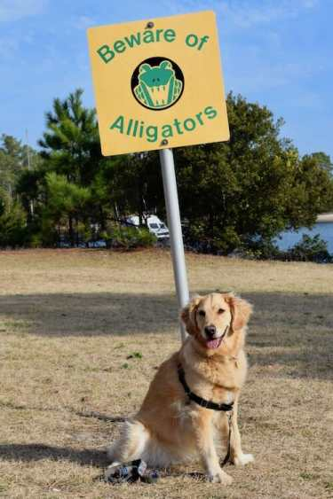 Finding dog-friendly anchorages on the ICW has its challenges--especially in alligator areas. (Golden retriever sitting at base of sign warning of alligators)