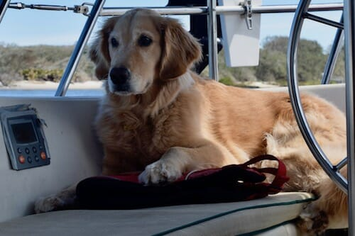 Honey the golden retriever lies in the cockpit.
