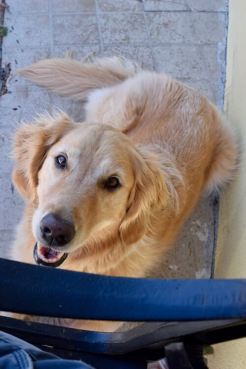 Build your dog's confidence (Golden retriever looks up while lying on sidewalk)
