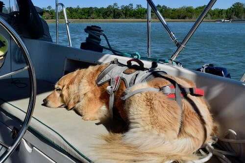 Honey the boat dog waits to go off the boat in her Ruffwear harness.