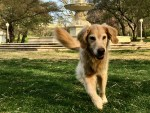 Naming a boat dog helps her listen. (golden retriever running toward camera)