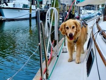 Golden retriever on sailboat.
