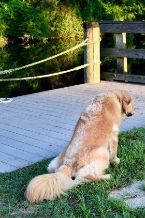 Avoiding dog disasters in rough seas (golden retriever pees on grass beside a dock)