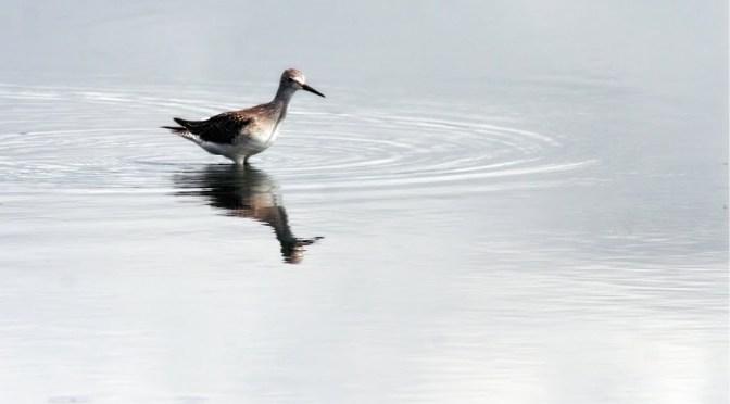 Shorebird reflections