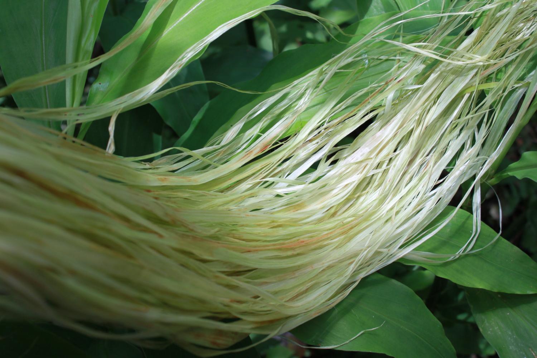 カラムシの繊維