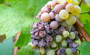 What is Sauterne? How is Sauternes Made in Bordeaux? Sauternes and Noble Rot | Allessandra Esteves, SommelierQA.com
