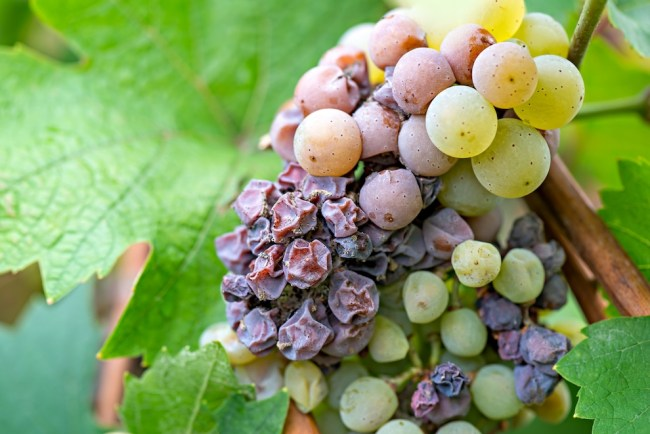 What is Sauterne? How is Sauternes Made in Bordeaux? Sauternes and Noble Rot | Alessandra Esteves, SommelierQA.com