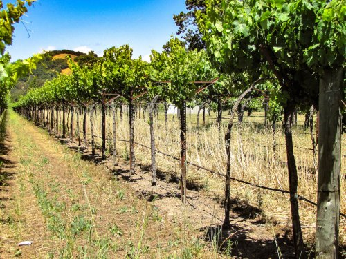 Winemaking 101 - Part I - Growing Vines in Sonoma California