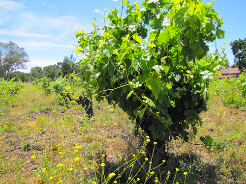 Winemaking 101 - How do you grow grape vines?