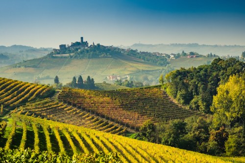 Nebbiolo Vines in the Langhe Region of Piedmont, Italy