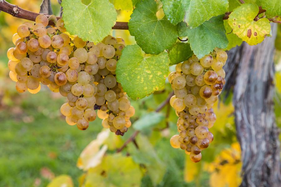 What Does Sauvignon Blanc Taste Like? | Top Sauvignon Blanc Wine Regions | SommelierQA.com