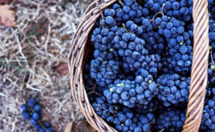 How to Tell When Wine Grapes are Ready for Harvest | When are Wine Grapes Ripe for Harvest? | SommelierQA.com