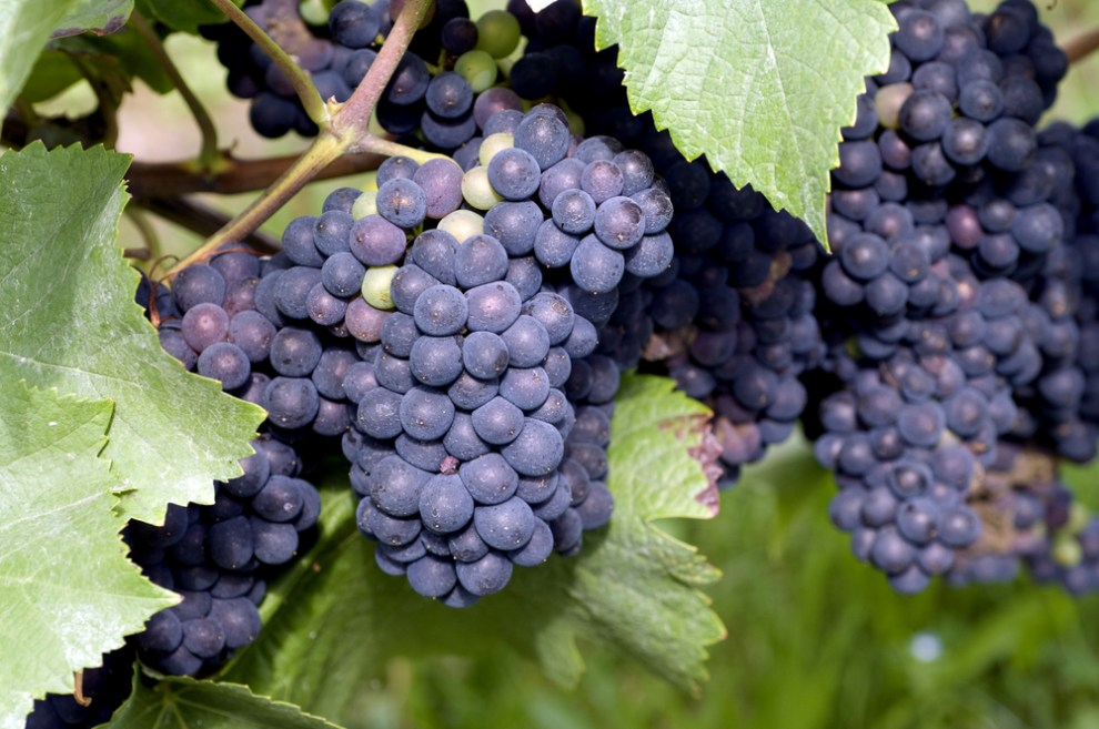 What Does Tempranillo Taste Like? Tempranillo Grape Information & Food Pairings | SommelierQA.com
