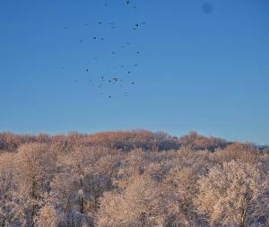Today a flock of crows over the snow covered treeshellip