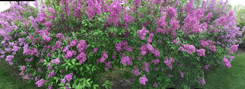 A panorama of my lilacs.