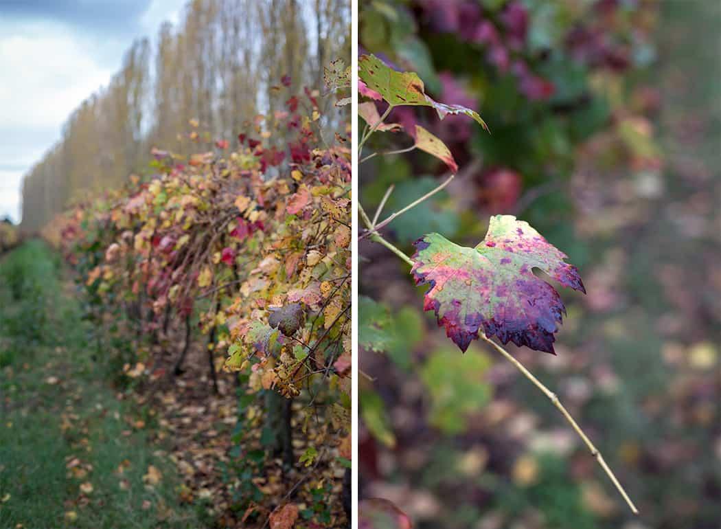 le vigne per fare l'aceto balsamico di modena