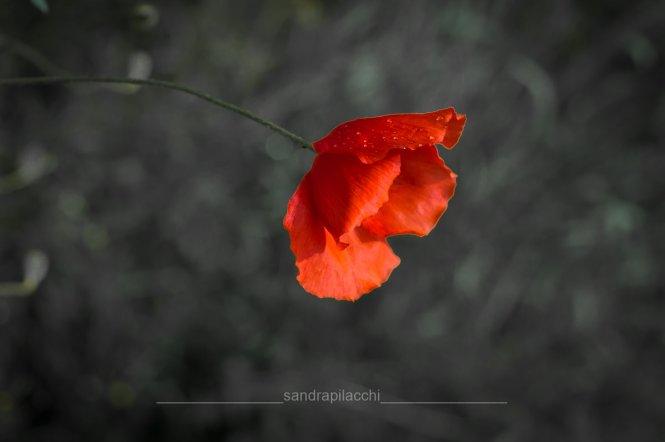 rosso - papavero