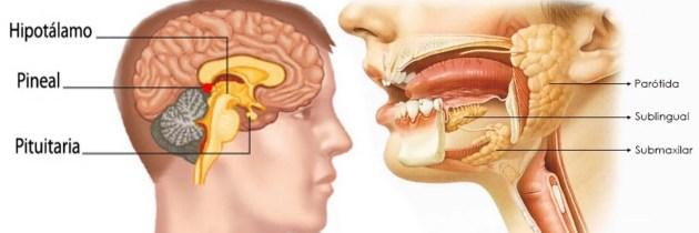 Glándulas: Hipófisis, Pituitaria y Salivares