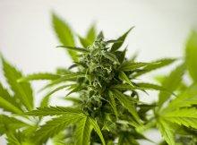 hash-marijuana