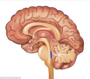 beyin-yapisi
