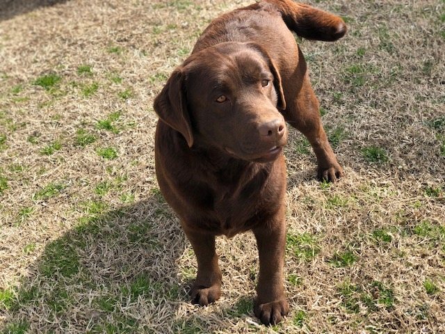 Chocolate Lab Breeder Oklahoma