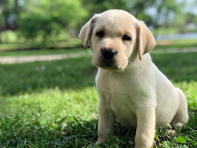AKC labrador breeder California - New Jersey - Florida -Texas