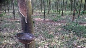 rubber plantation 1