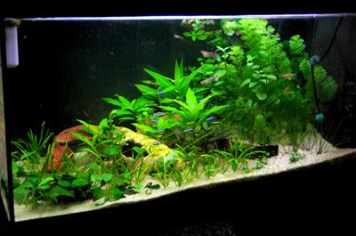 Aquarium vu de face avec les plantes