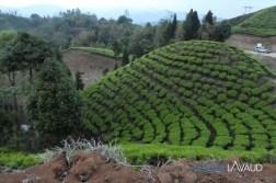Plantation de thé vers Ilam