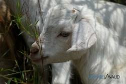 baby chèvre