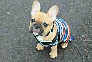 Time-out-to-De-Stress-Stitch-fawn-french-bulldog-puppy