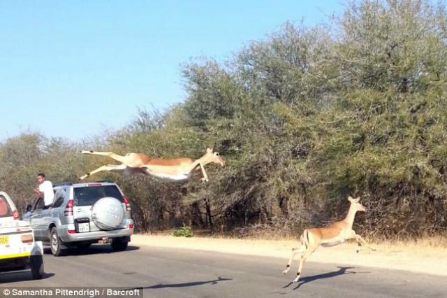escape antilope 2