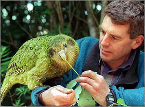 kakapo_