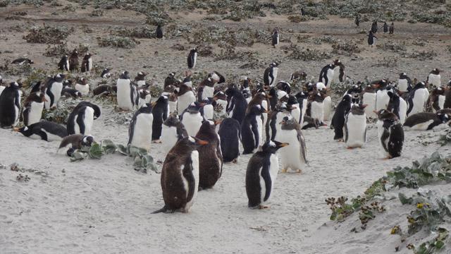 Pinguinos-Sea-Lion-Island-3