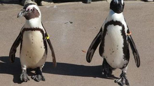Unos pingüinos ¿gays?