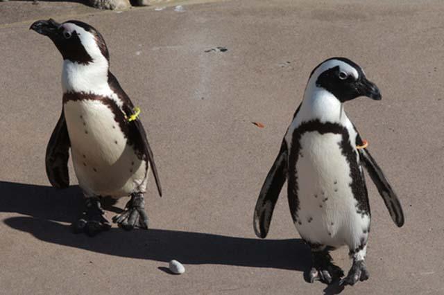 La infidelidad de los pingüinos gays
