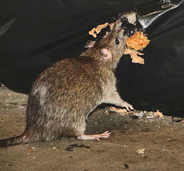 Organizan concurso fotográfico sobre ratas en el Metro de NY