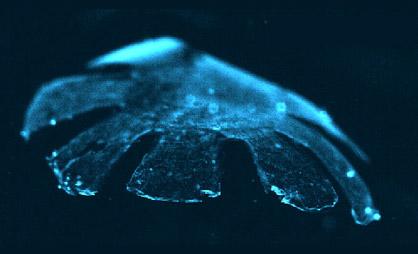 Crean la primer medusa bio-artificial