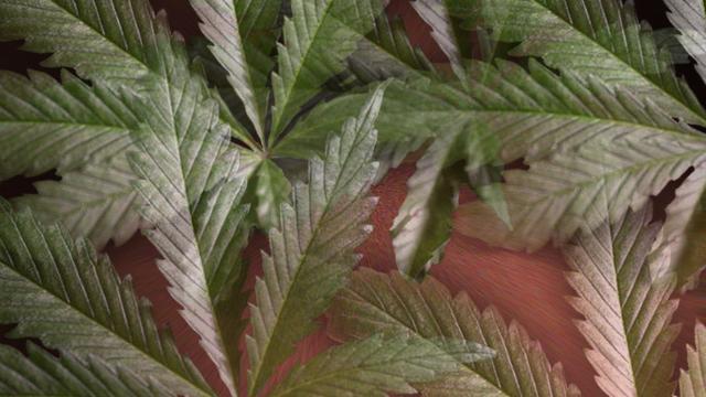 Los misterios de la marihuana contra el dolor